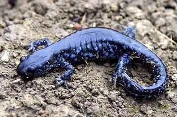 blue spotted salamdner