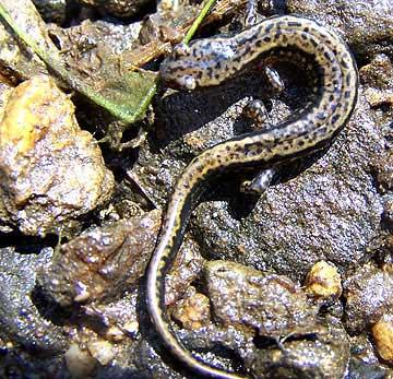 two lined salamander