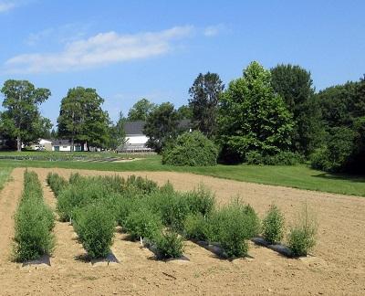 Quinoa Field