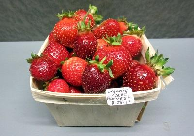 UNH Organic Strawberries