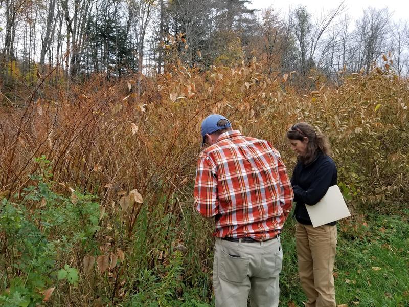 knotweed in Broad Brook