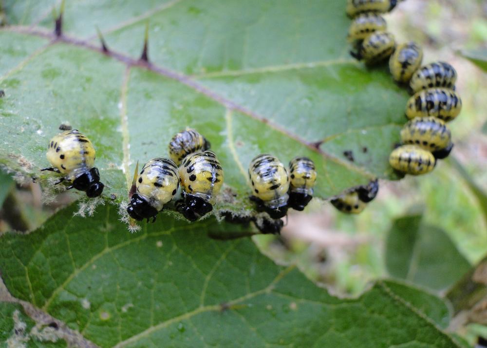 Chysomelid beetle larvae feeding