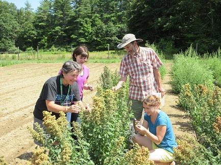Chenopodium field