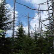 Nova Scotia Budworm Trees