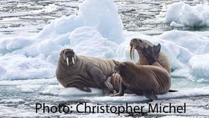 Arctic_Walrus