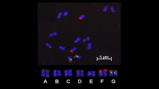 FISH photo of strawberry chromosomes