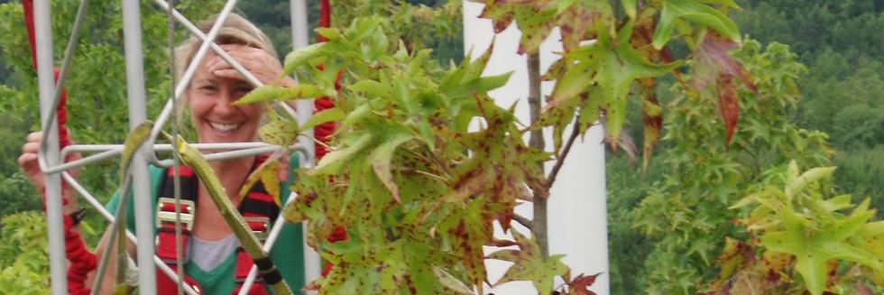 Foliar sampling in a sweetgum CO2 fertilization experiment