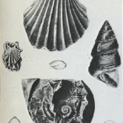 Fossil Sea-Shells