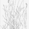 Aegopogon Cenchroides