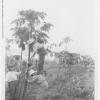 Papaya Gathering