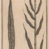 Saccharum Officinarum